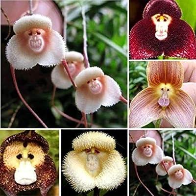 Semillas Plantas 100 / Semillas 200Pcs Mono Cara Adorable Jardín de Orquídeas Planta de la Flor de Bonsai Decor - 200Pcs Cara del Mono Orchid Semillas: Amazon.es: Deportes y aire libre