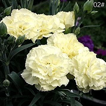 Growing carnations how to grow carnations in the garden.