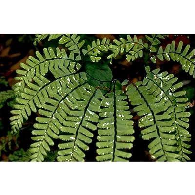 4 Maidenhair Ferns (Adiantum pedatum) rooted start : Garden & Outdoor