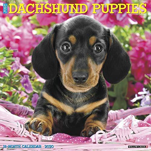 Just Dachshund Puppies 2020 Wall Calendar (Dog Breed Calendar)