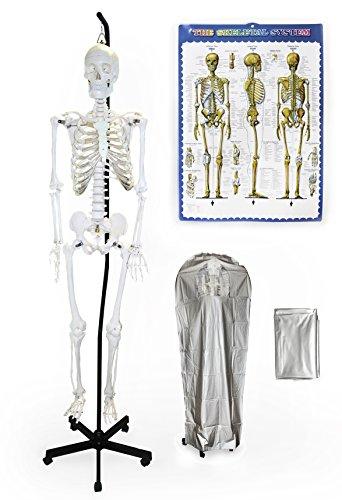 "Hanging Arm Cast - Vision Scientific VAS201-H-DC Hanging Life Size Human Skeleton-66"" (168cm), including DCA-01 Thick Zip Dust Cover & Color Skeleton Diagram …"