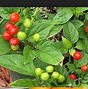 10 Quintisho Red, HOT PEPPER SEEDS - Capsicum Chinense - From Bolivia