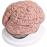 8piezas cerebro humano con Arterias anatómico anatomía Modelo
