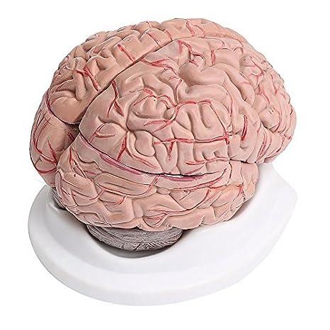 8 Teilig Menschliches Gehirn mit Arterien Anatomie Modell: Amazon.de ...