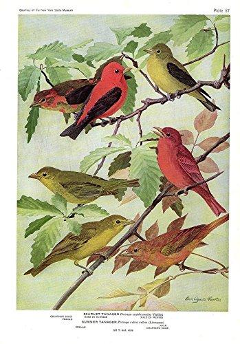 Fuertes Color - 1936 Vintage FUERTES BIRDS #87