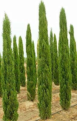 15 Seeds Mediterranean Cypress (Cupressus Sempervirens) Pine Tree