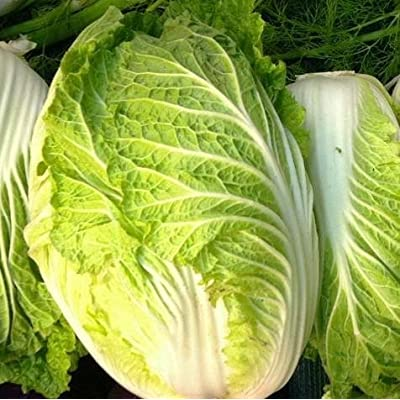 Kyoto NAPA Chinese Cabbage Seeds - 100+ Rare Garden Vegetable Seeds : Garden & Outdoor