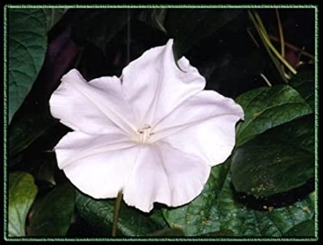 Amazon moonflower night blooming vine white flower fragrant moonflower night blooming vine white flower fragrant 40 seeds mightylinksfo
