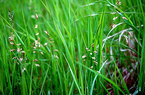 Sweet Grass For Cats - Hierochloe oderata - Sacred - 4