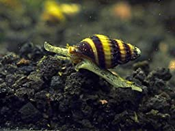 12 Live Assassin Snails (Clea helena - 1/2 to 1 Inch) - Removes All Pest Snails! by Aquatic Arts