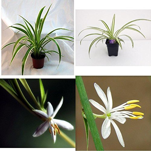 Ocean Spider Plant Easy Grow Cleans the Air NEW 3,5
