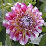 Dahlia Decorative Hawaii (2 Tuber) Great Cut Flowers,Bloom Summer to fall