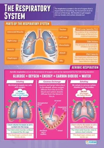 The Respiratory System |Physical Education Chart in high gloss with heavy stock lamination (33