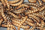 Bassett's Cricket Ranch 1000 Live Super worms