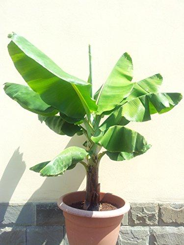 10 Seeds Dwarf Musa Acuminata Banana Plant Air Purification House Plant