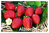 blunekorn Strawberry Mix 750 Seeds
