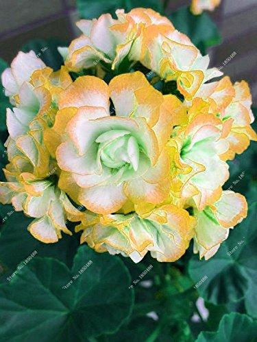 Amazon On Sale 100pcspack Orange Flower Petals Geranium