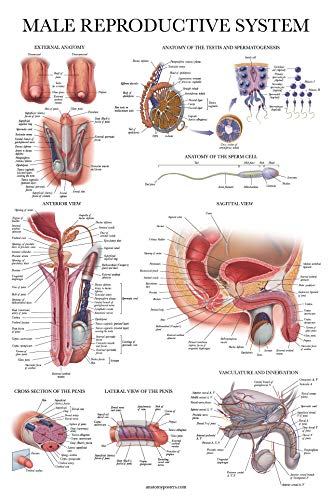 Laminated Male Reproductive System Anatomical Chart - Male Anatomy Poster - 18 x 27