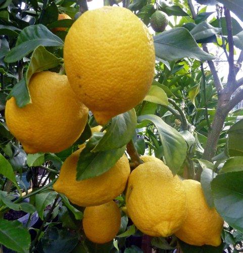 Potted Fruit Plants - 9