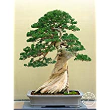 Big Sale!50 Seed/Bag juniper bonsai tree potted flowers office bonsai purify the air absorb harmful gases,#I2BVO1