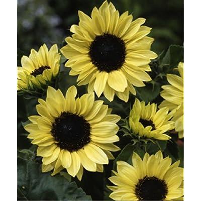 Sunflower 'Moonshine' (Helianthus Annuus L.) Flower Plant Seeds, Annual Heirloom : Garden & Outdoor