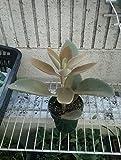 Kalanchoe orgyalis – Copper Spoons Plant
