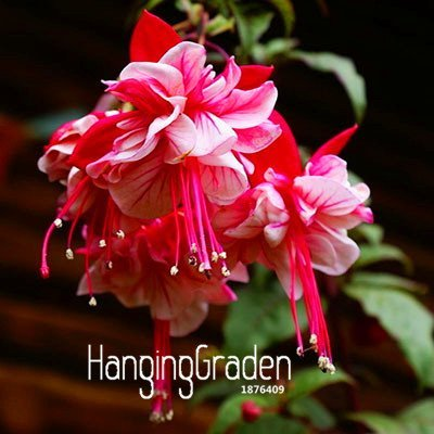 Amazon Big Salepink Purple Bell Flowers Fuchsia Seeds Potted