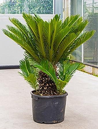Zimmerpflanzen Sonniger Standort palmfarn große zimmerpflanze sonniger standort cycas revoluta 1