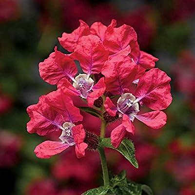 Park Seed Sriracha Rose Cuphea Seeds : Garden & Outdoor