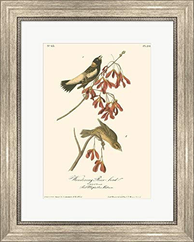 (Wandering Rice Bird by John James Audubon Framed Art Print Wall Picture, Silver Scoop Frame, 16 x 20 inches)