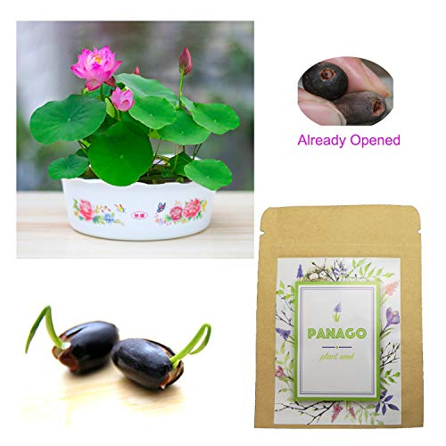 (20 Water Lotus Seeds for Planting, Already Opened Bowl Lotus Seeds for DIY Home Planting (Mixed Colors))
