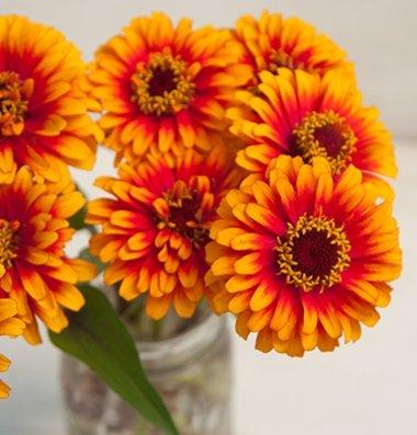 David's Garden Seeds Flower Zinnia Zowie Yellow Flame (Heat Tolerant) DGS1805UK (Orange) 25 Open Pollinated Seeds