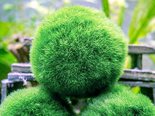 5 Marimo Moss Balls - Small / Nano Aquarium Ball Set. Unique Decor for Aquariums and Glass Jar Terrarium Kits. Natural Habitat / for Live Fish, Pet Shrimp, Sea Monkeys, and more by Aquatic Arts