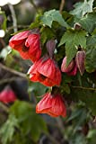 Abutilon Red Live Perennials Plant Fit 1 Gallon Pot