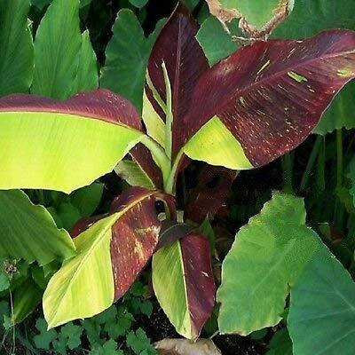 2 Red Banana Musa Pisang Ornamental Live Sml Potted Banana Plant by MANGO (Image #2)