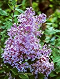 Josee Reblooming Lilac(Syringa) in a 4 inch Pot - Dense Lavender-Pink Shrub That re-Blooms All Summer Long - Includes 1 Plant per Order