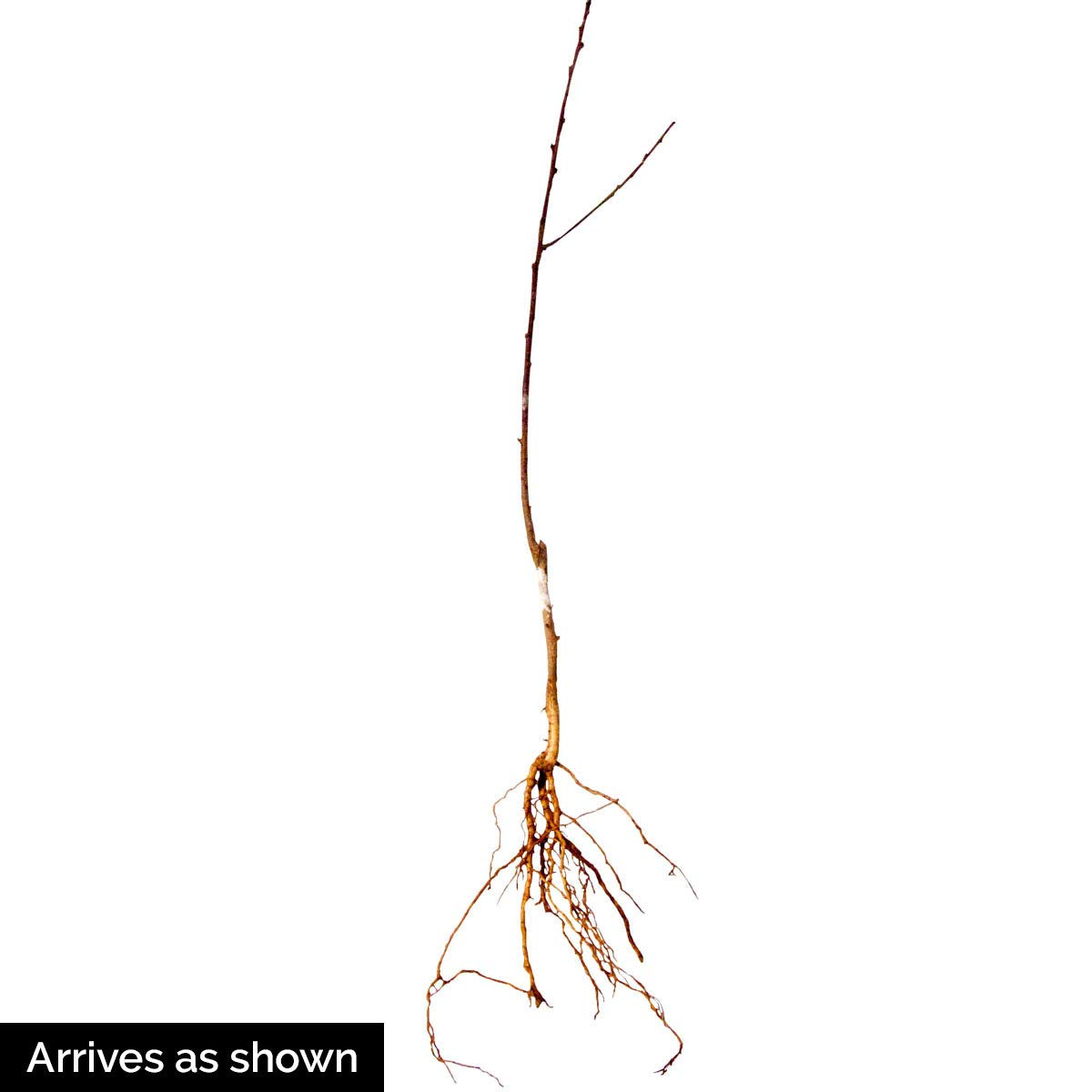 Nectarine Yumm Yumm REACHABLES Bare Root Fruit Tree - Enjoy Nectarines with Needing a Ladder to Maintain! Includes 1 Tree per Order. Due to regulations Can't Ship to AL AR CA CO ID LA MS OR WA by Gurneys (Image #5)