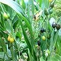 Outsidepride Coix Lacryma-jobi Seeds