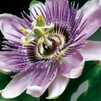 10 PURPLE GRANDILLA PASSION FLOWER Passiflora Caerulea Vine Seeds
