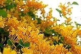 LONICERA 'MANDARIN' - HONEYSUCKLE VINE - STARTER PLANT