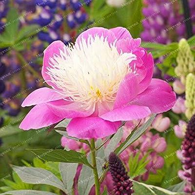 Kasuki Hot Selling 24 Kinds Pretty Peony Bonsai Paeonia Suffruticosa 10Pcs/Pack Peony Flower Bonsai for Home Garden - (Color: 11): Garden & Outdoor