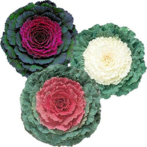 Flowering Kale Ge Ornamental Cabbage Brassica oleracea 50 Pcs Seeds Mix Color