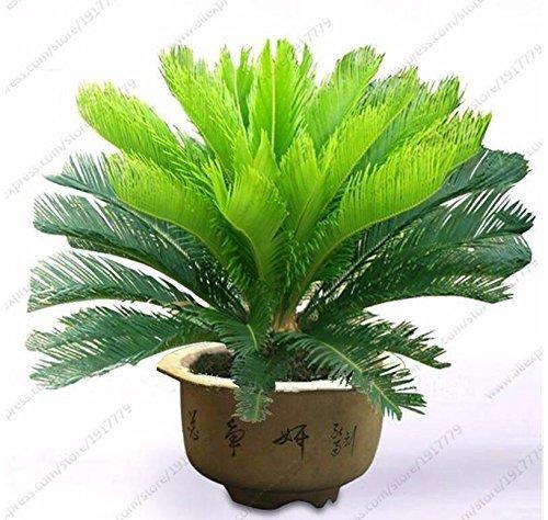 Nianyan Beautiful - Cycas revoluta- Sago Palm Tree- 5 Seeds -