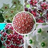 Mr.seeds Hoya seeds, potted flower seed, variety complete Hoya carnosa seeds 100 particles / bag