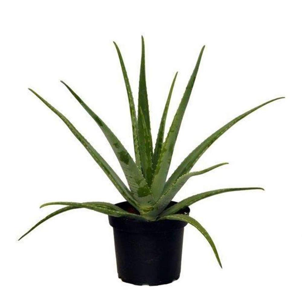 AMERICAN PLANT EXCHANGE Aloe Vera Indoor/Outdoor Air Purifier Live Plant, 6'' 1 Gallon Pot, Home Remedy!