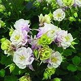 lichtnelke - Akelei (Aquilegia vulgaris WINKY DOUBLE ROSE & WHITE)