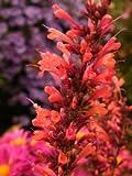 50+ Orange Agastache Hyssop Scented Flower Seeds / Perennial