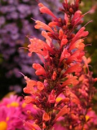 Amazon 50 orange agastache hyssop scented flower seeds 50 orange agastache hyssop scented flower seeds perennial mightylinksfo