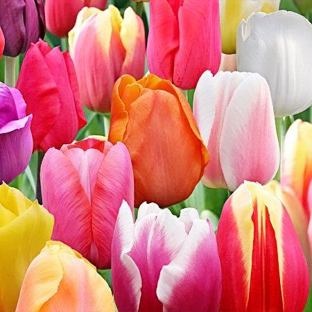 100 Landscape Mixture Tulip Bulbs - Tulipa Triumph by Daylily Nursery