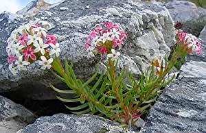 Exotic Plants Crassula fascicularis - syn. Crassula odoratissima - 10 seeds